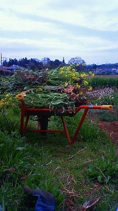 菜の花刈り